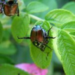 How to Get Rid of Japanese Beetles in the Garden