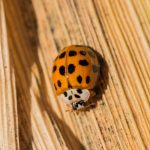How to Get Rid of Asian Beetles With One Scent