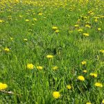 How to Naturally Get Rid of Those Pesky Dandelions